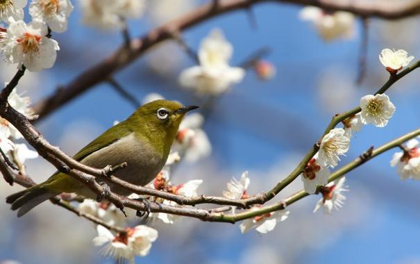 Фото обои цветы, ветки, природа, птица, весна, лепестки, сакура