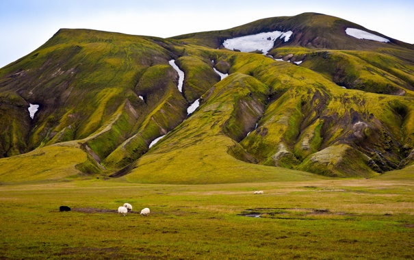 Фото обои зелень, снег, овцы, гора