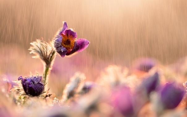 Фото обои солнце, капли, цветы, дождь, растение, сиреневые, сон-трава