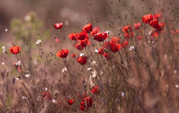 Фото обои поле, трава, макро, ветер, маки
