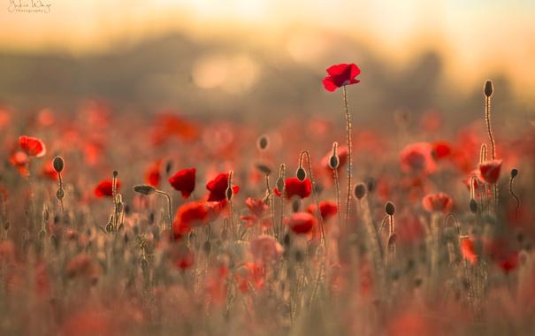 Фото обои поле, цветы, блики, маки, боке
