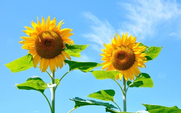 Фото обои небо, листья, природа, подсолнух, лепестки