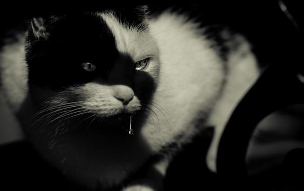 Фото обои кот, взгляд, кошак, котяра, слюни