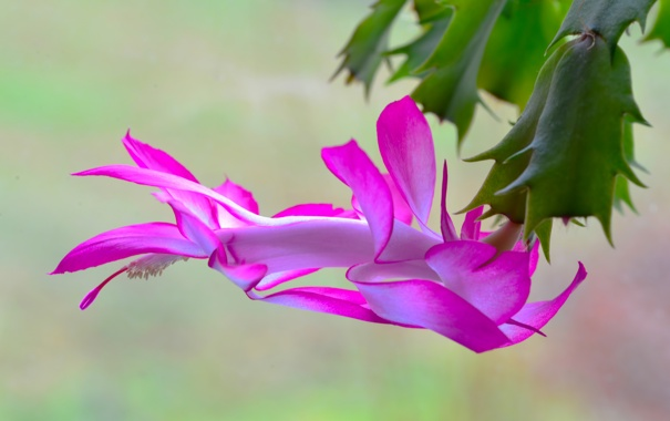 Фото обои макро, растение, лепестки, кактус
