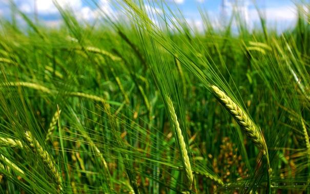 Фото обои поле, трава, макро, колоски, колосья