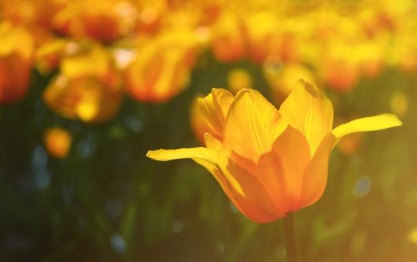 Фото обои макро, свет, цветы, природа, цвет, тюльпан, тюльпаны