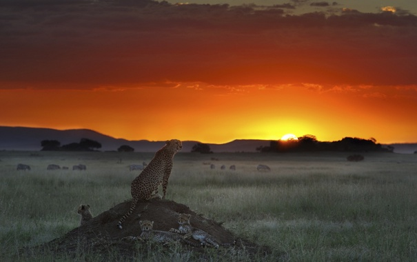 Фото обои поле, закат, гепард, буйволы, гепарды