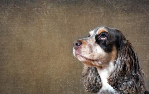 Фото обои взгляд, друг, собака, spaniel
