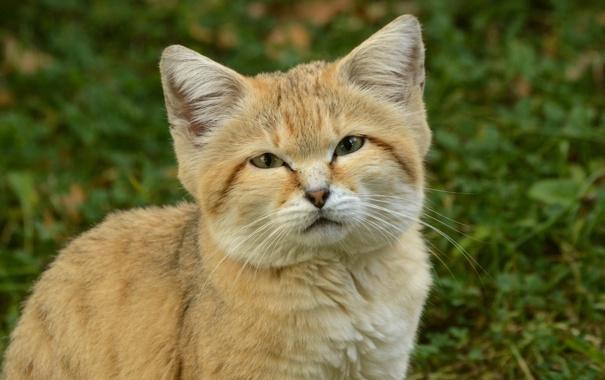 Фото обои взгляд, котёнок, барханная кошка, sand cat