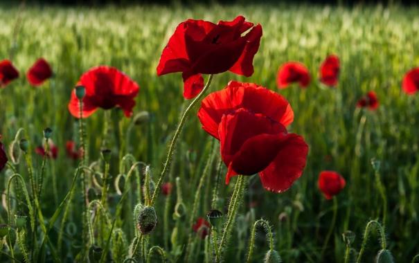 Фото обои цветы, природа, маки