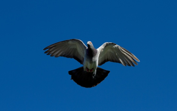 Фото обои птица, небо, голубь