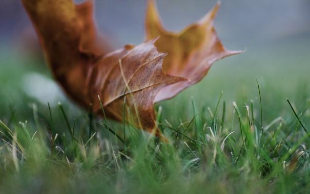 Фото обои зелень, осень, трава, макро, лист, кленовый