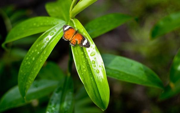 Фото обои листья, капли, макро, природа, фон, обои, бабочка