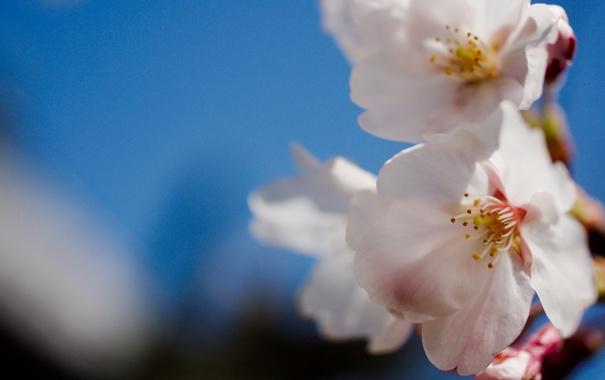 Фото обои цветы, природа, нежность, растения, ветка, весна, лепестки