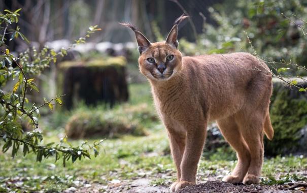 Фото обои хищник, дикая кошка, каракал, степная рысь
