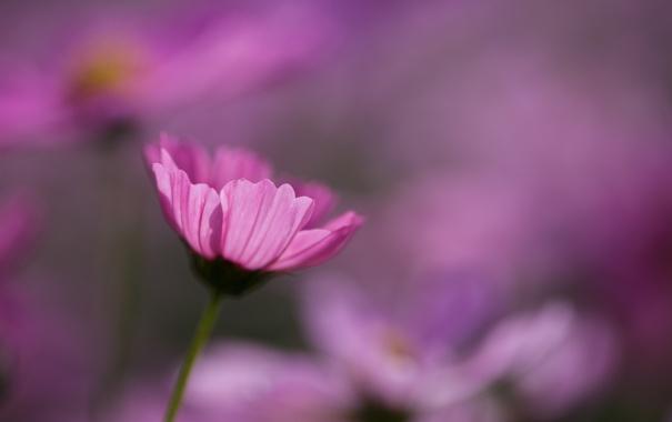 Фото обои макро, розовая, фокус, космея