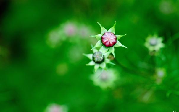 Фото обои зелень, цветы, природа, фокус, размытость, бутоны, полевые