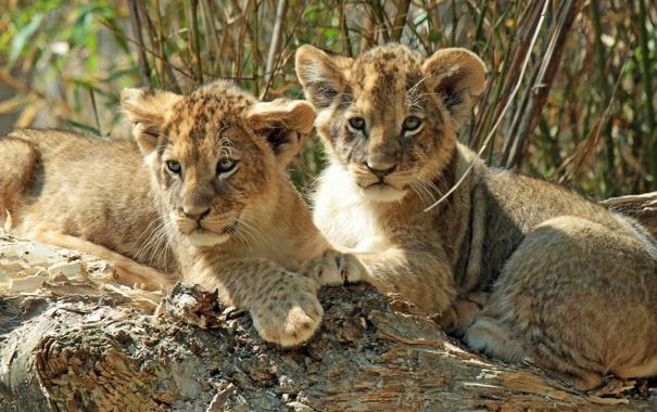 Фото обои котята, львята, детёныши