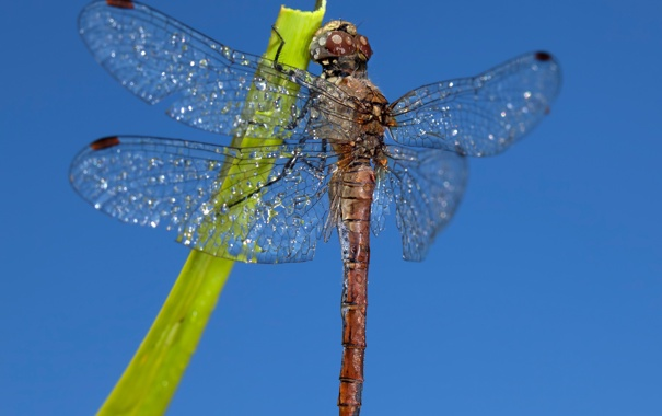 Фото обои небо, крылья, стрекоза, насекомое