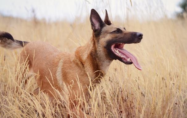 Фото обои поле, взгляд, друг, собака