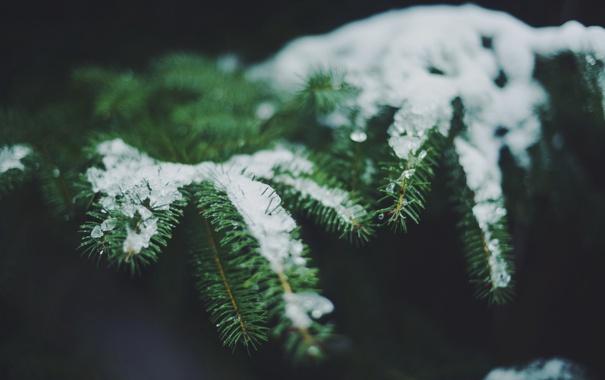 Фото обои снег, иголки, ветки