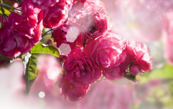 Фото обои цветы, листва, розы, цветение