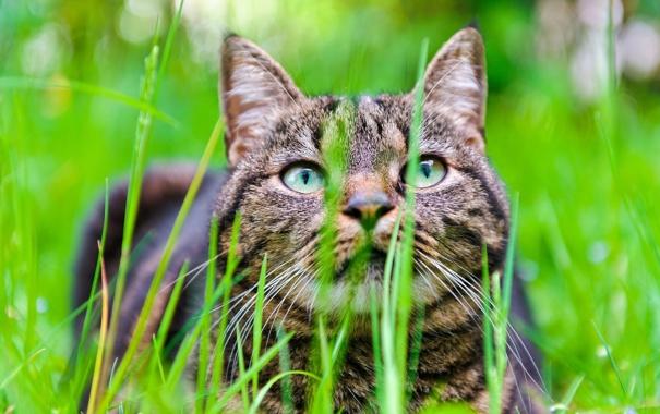 Фото обои трава, кот, морда, размытость