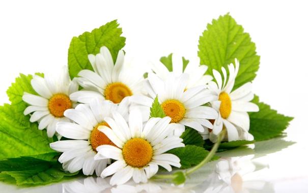 Фото обои листья, отражение, ромашки, белый фон