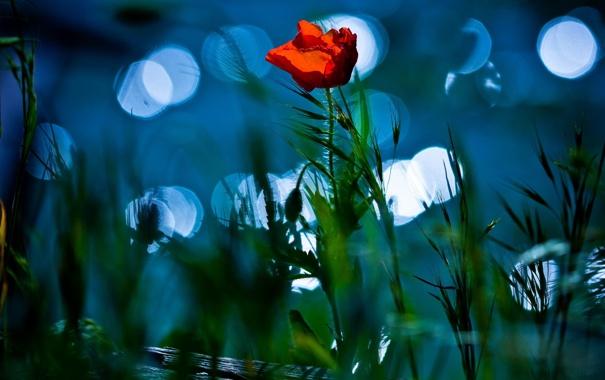 Фото обои природа, цветок, мак