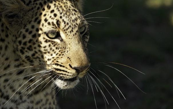 Фото обои дикая кошка, морда, © Ania Jones, хищник, усы, леопард