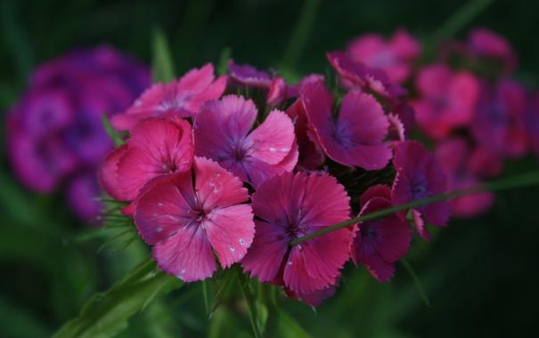 Фото обои цветы, фиолетовые, гвоздики