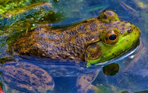Фото обои природа, глаза, вода, лягушка