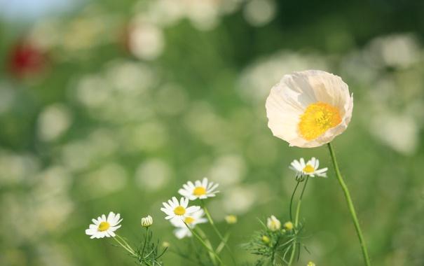 Фото обои зелень, белый, цветок, лето, трава, свет, природа