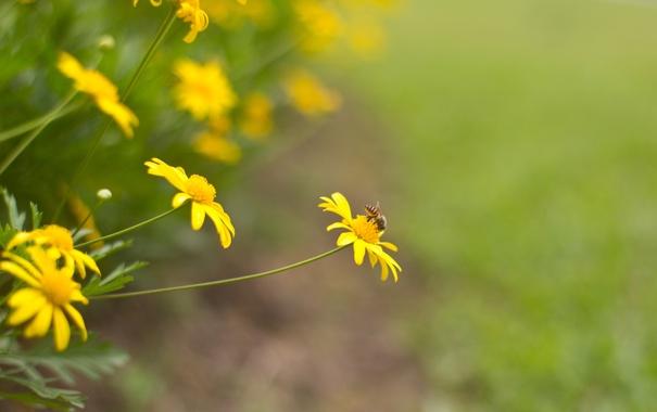 Фото обои желтые, фон, пчела, насекомое, цветы