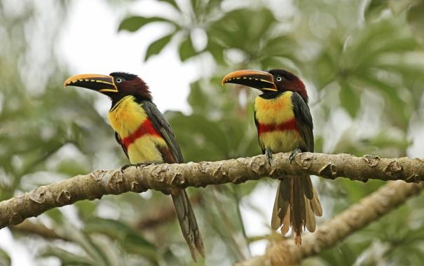 Фото обои птица, ветка, клюв, пара, тукан