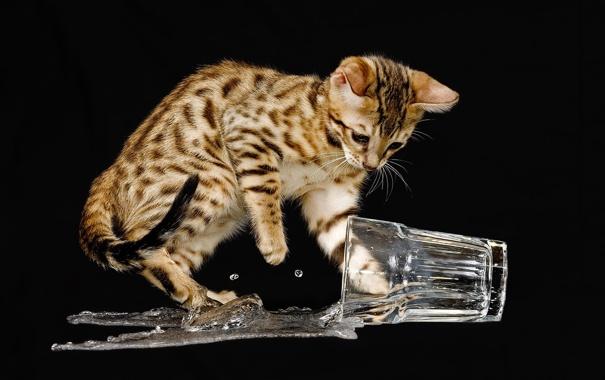 Фото обои вода, брызги, стакан, фон, чёрный, жидкость, котёнок