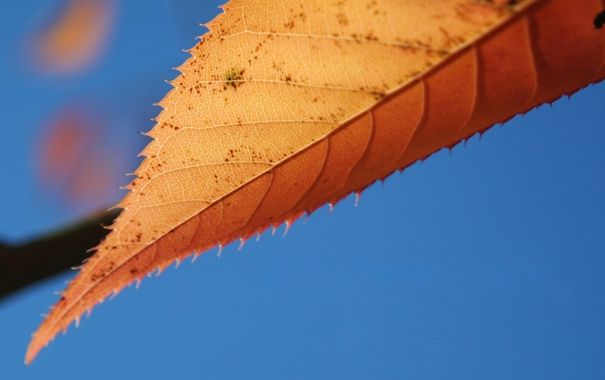 Фото обои осень, лист, синий фон