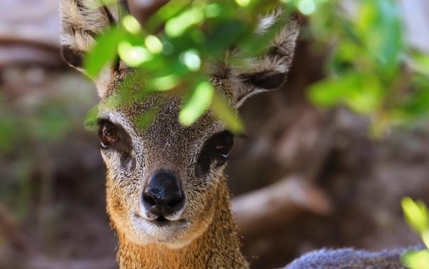 Фото обои глаза, взгляд, листва, антилопа