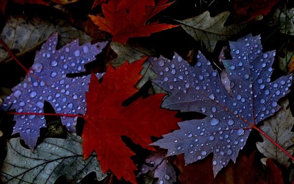 Фото обои осень, листья, вода, капли, роса, клен