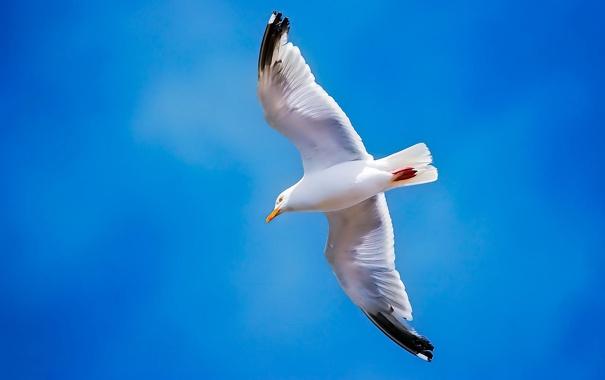 Фото обои птица, крылья, чайка, небо, полет