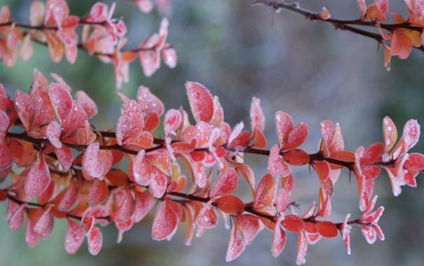 Фото обои осень, красный, барбарис