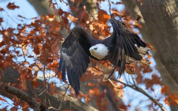 Фото обои осень, дерево, птица, полёт, Белоголовый орлан