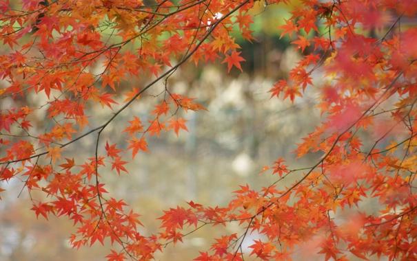 Фото обои осень, листья, дерево, ветка, клен