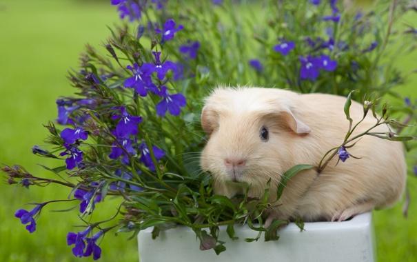 Фото обои цветы, морская свинка, лобелия