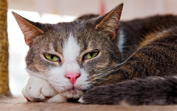 Фото обои кошка, взгляд, дом