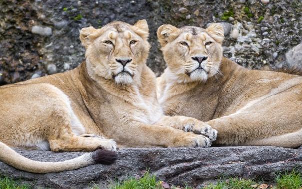 Фото обои кошки, пара, львы, львицы, ©Tambako The Jaguar