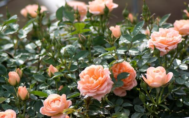 Фото обои бутоны, розы, куст