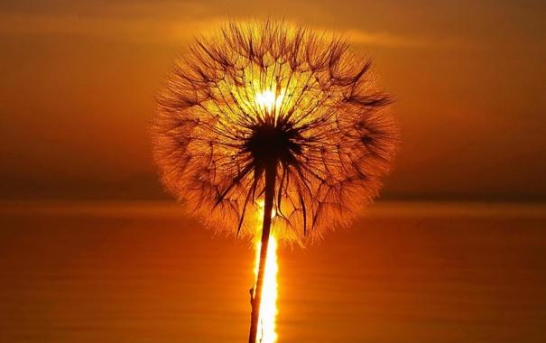 Фото обои солнце, свет, одуванчик, стебель, пух, красиво, скозь