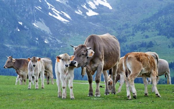 Фото обои Животные, Коровы, буйволы
