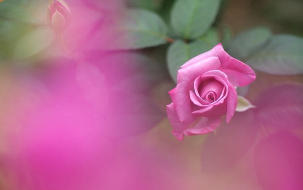 Фото обои роза, цветок, лепестки, розовая